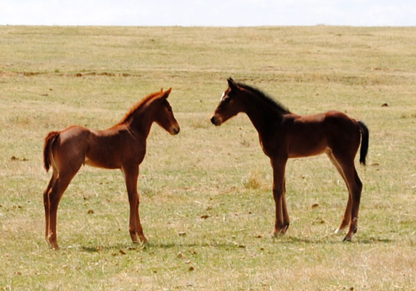 Colts, Gould Ranch Cattle Co.
