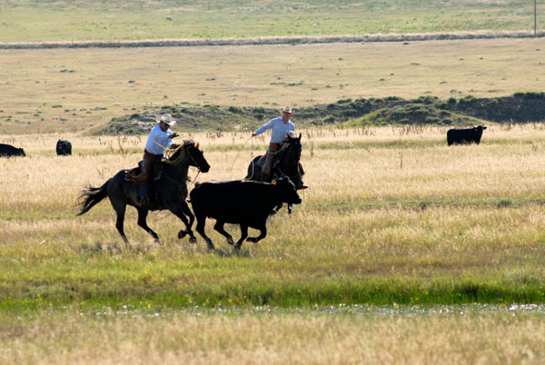Herding, Gould Ranch Cattle Co.