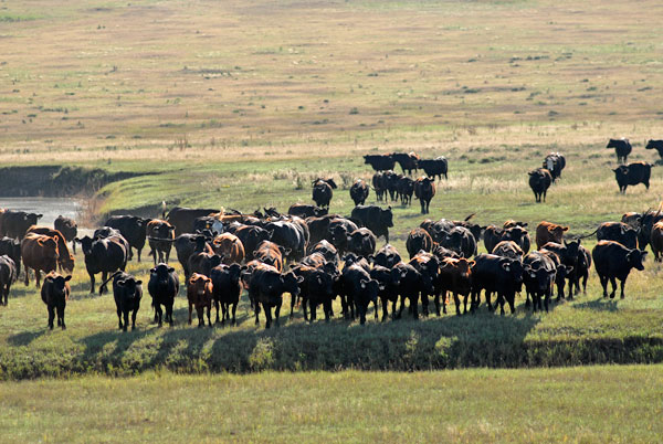 Purebred Cattle, Gould Ranch Cattle Company