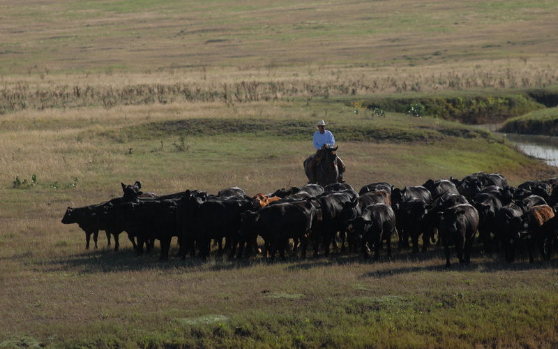 Herding, Gould Ranch Cattle Company