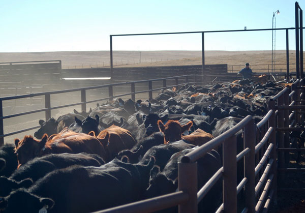 Herding them up, Gould Ranch Cattle Company