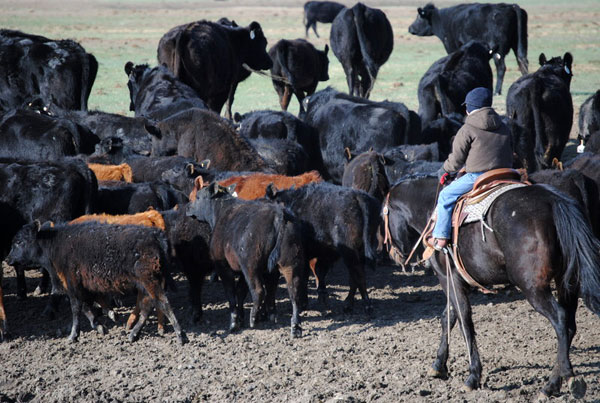 Irish Reds, Gould Ranch Cattle Company