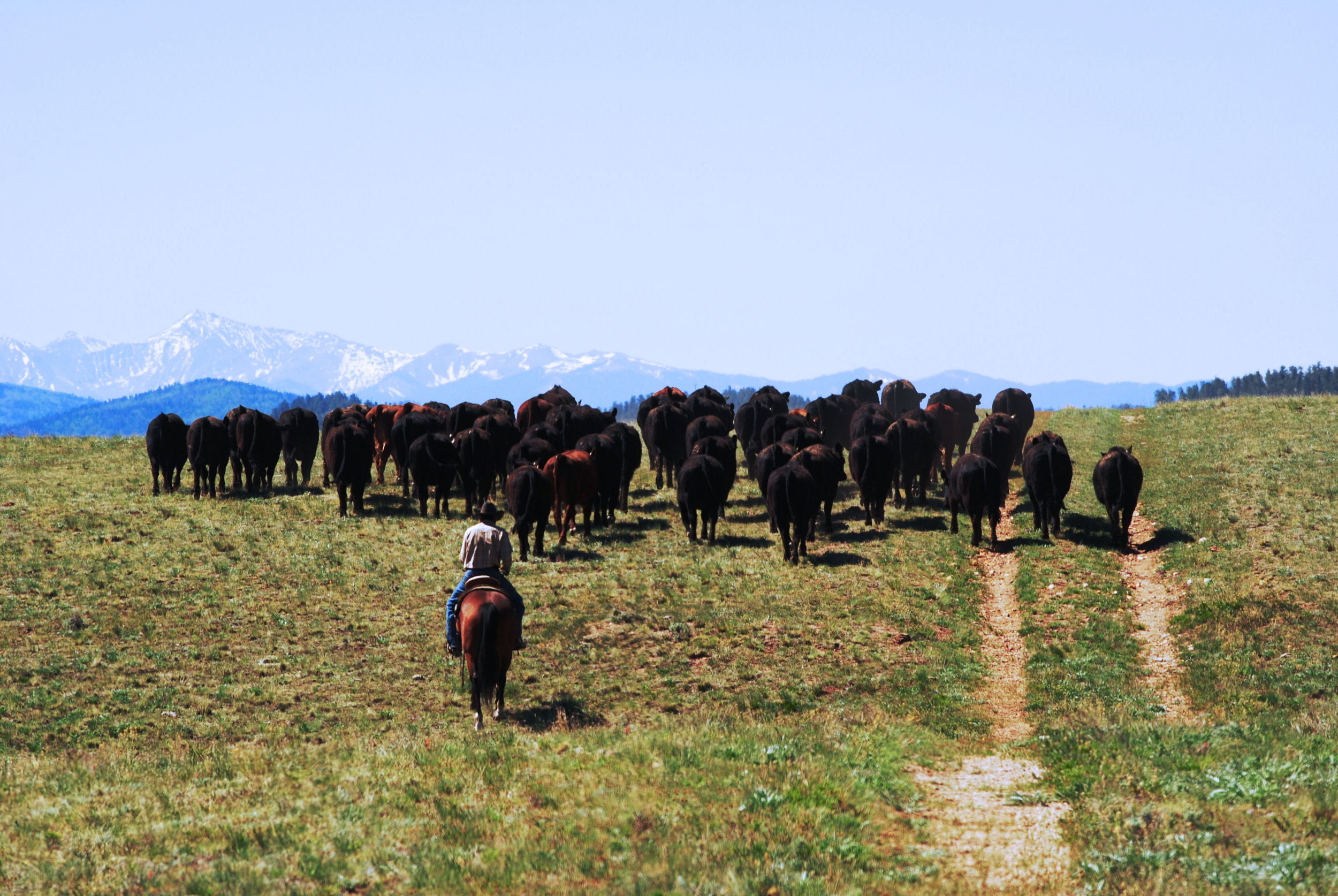 Purebred Cattle, Gould Ranch Cattle Co.
