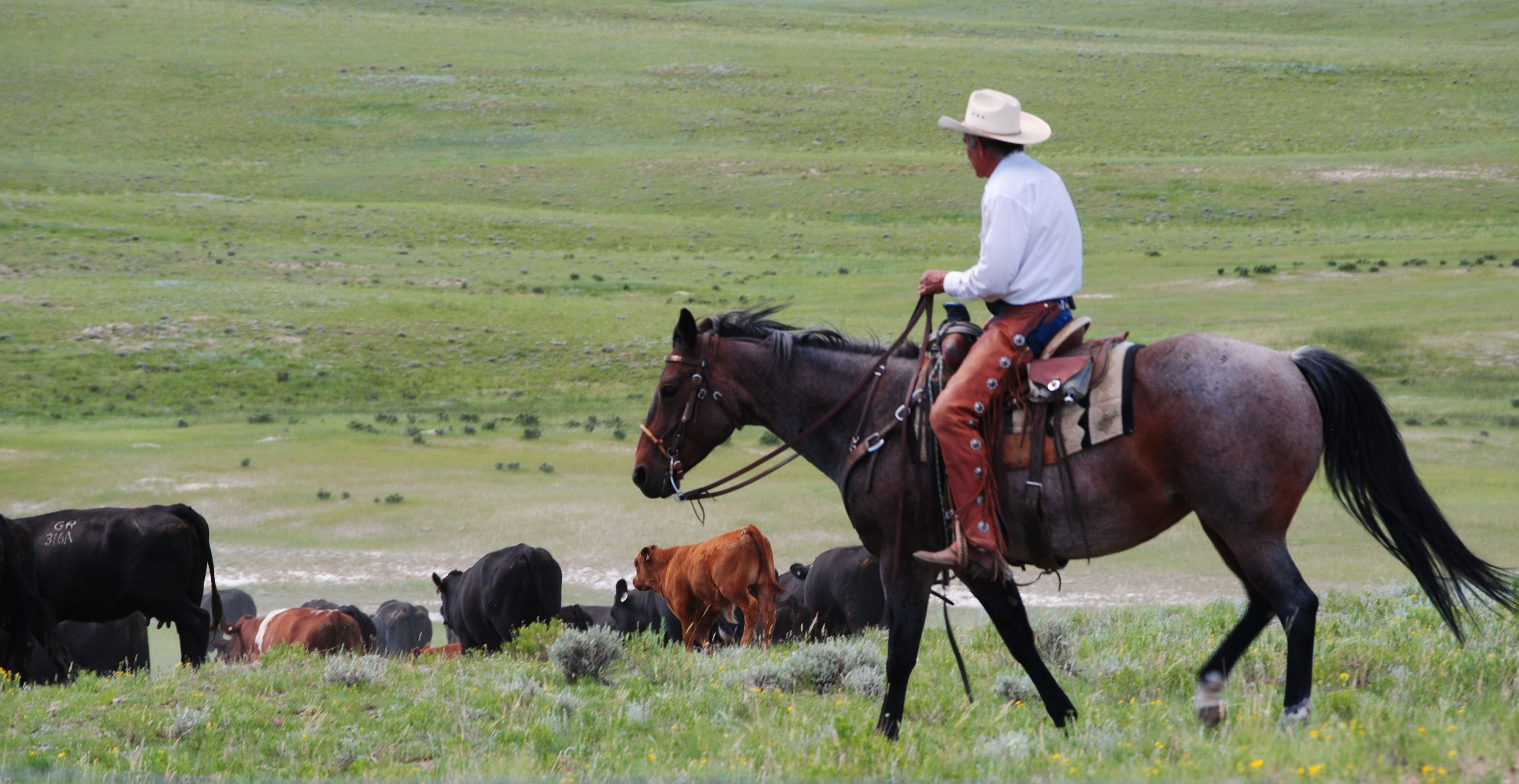 Guy and cattle, Gould Ranch Cattle Company