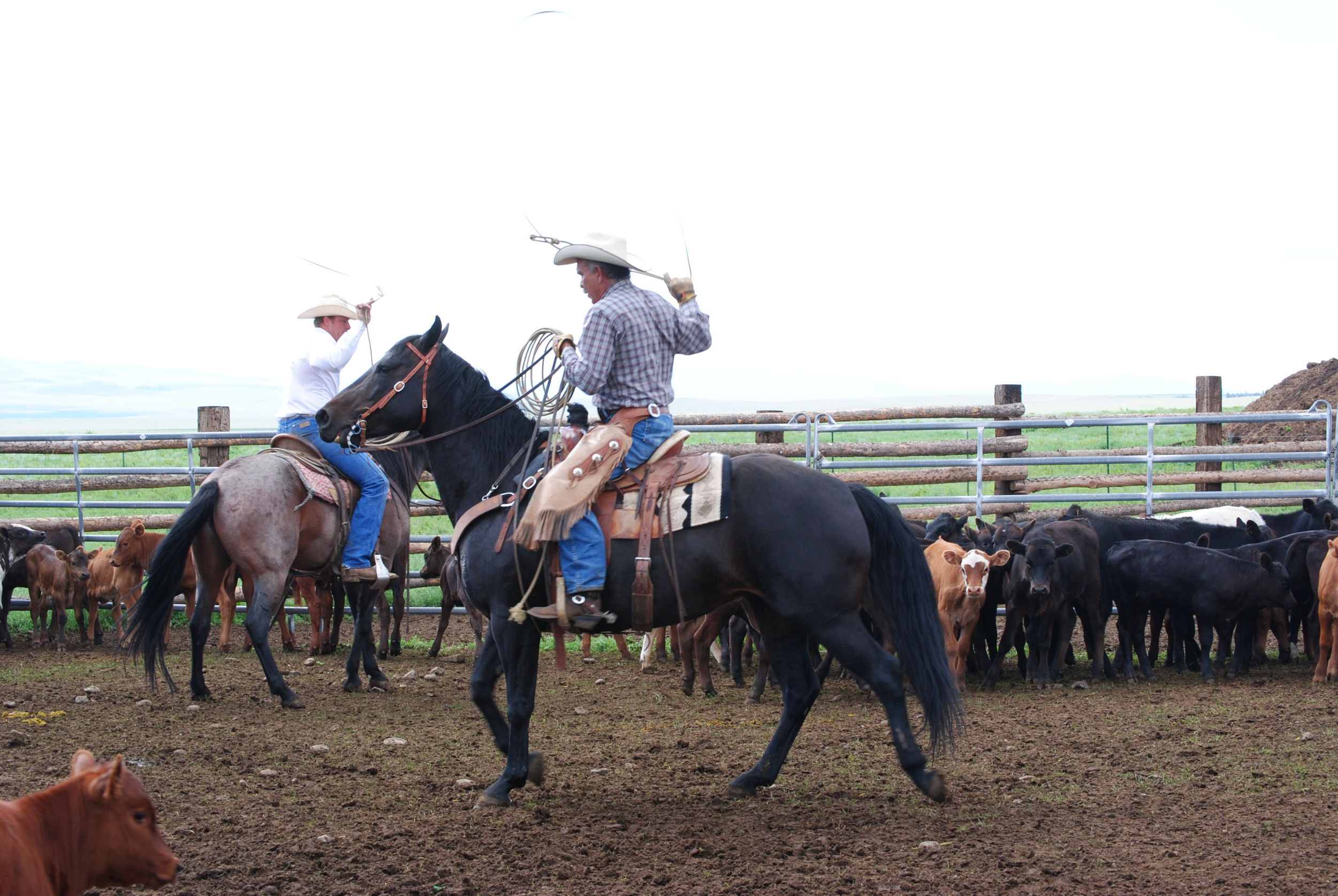 Cattle Round Up, Gould Ranch Cattle Co.