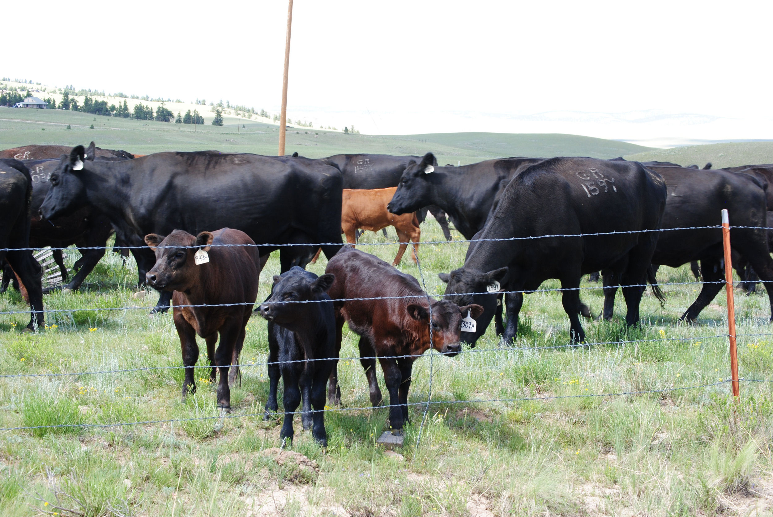 Purebred Cattle, Gould Cattle Ranch Co.